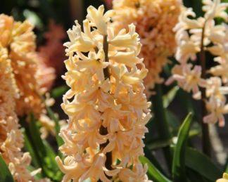 hyacinthus-odysseus-egyszeru-viragu-jacint