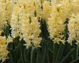hyacinthus-yellow-queen-egyszeru-viragu-jacint