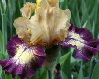 iris-barbata-elatior-exactitude-noszirom