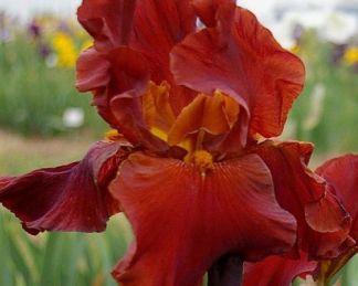 iris-barbata-elatior-gallant-moment-noszirom1
