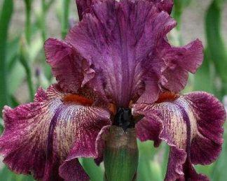 iris-barbata-elatior-indiscreet-noszirom