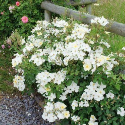 kew_gardens david austin angol rózsa