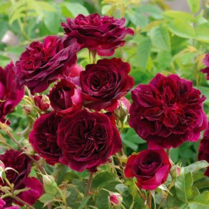 munstead_wood angol rózsa