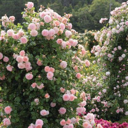 strawberry_hill angol rózsa
