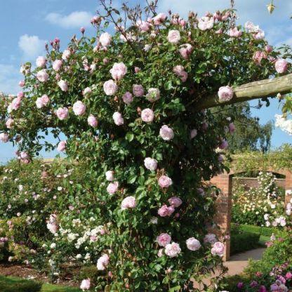 the_generous_gardener angol rózsa