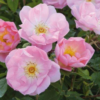 the_lady_s_blush angol rózsa