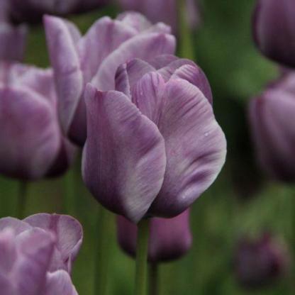 Tulipa 'Bleu Aimable' - Triumph tulipán