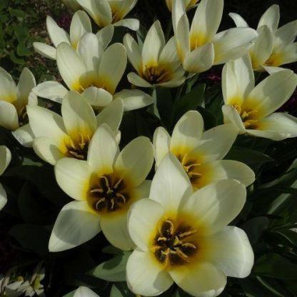 Tulipa Concerto Kaufmanniana tulipán