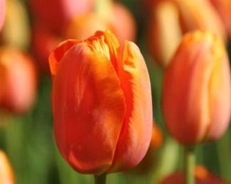 Tulipa 'Dordogne' - Triumph tulipán