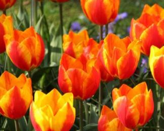 Tulipa 'Flair' - Triumph tulipán