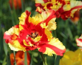 Tulipa Flaming Parrot papagáj tulipán
