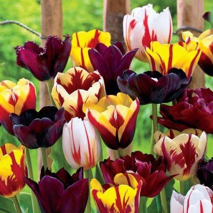 Tulipa 'Gavota' - Triumph tulipán válogatás