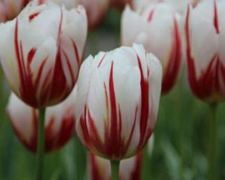 Tulipa 'Happy Generation' - Triumph tulipán