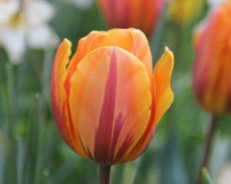 Tulipa 'Prinses Irene' - Triumph tulipán