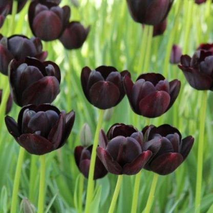 Tulipa 'Queen of Night' - Triumph tulipán