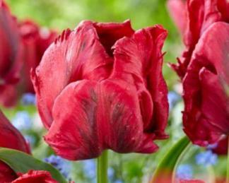 Tulipa Red Madonna papagáj tulipán