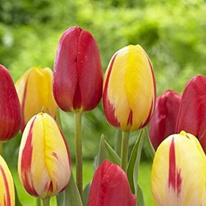 Tulipa 'Sky High Scarlet' - Triumph tulipán
