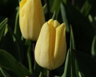 Tulipa 'Sunny Prince' - Triumph tulipán