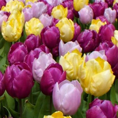 Prince tulipán válogatás