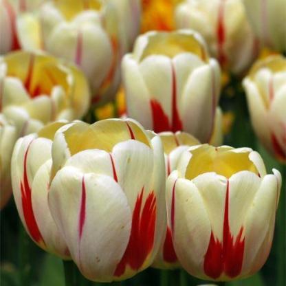Tulipa 'World Expression' - Triumph tulipán