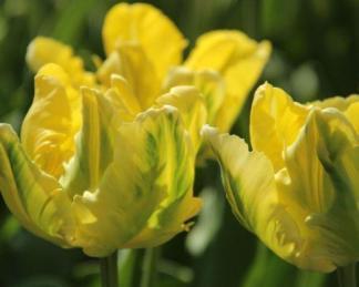 Tulipa 'Yellow Madonna' papagáj tulipán