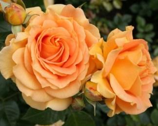 goldelse ágyás rózsa florapont