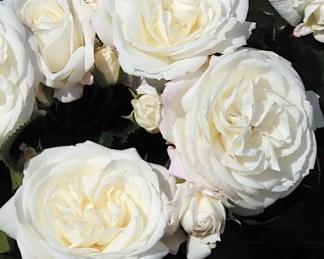 Alabaster ágyás rózsa