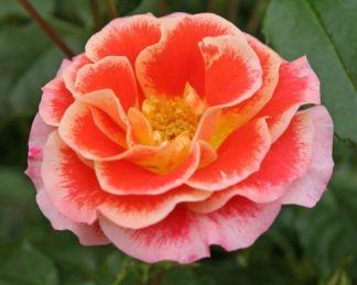 Airbrush floribunda ágyás rózsa