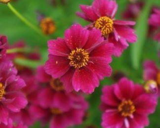 Coreopsis-rosea-twinklebells-purple-menyecskeszem
