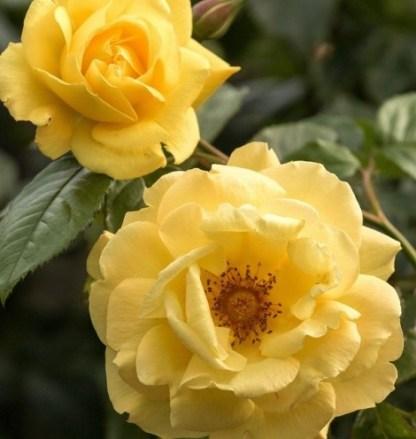 Dukat® – futórózsa 1 Rendkívül illatos, folyamatosan és dúsan virágzó, rendkívül ellenálló sárga kúszórózsa.  <em>Kiszerelés: szabadgyökerű, A minőség</em>
