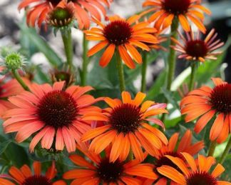Echinacea-orange-skipper-kasvirag