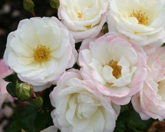 Eisprinzessin floribunda ágyás rózsa