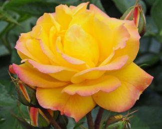 Goldmarie flobirunda ágyás rózsa