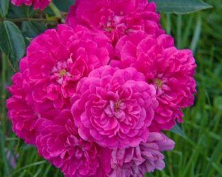 Roxy miniatűr rózsa