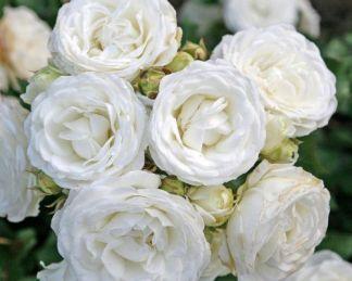 Schneekuesschen miniatűr rózsa