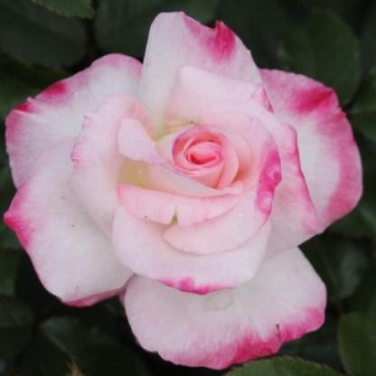 Abigaile ágyás rózsa