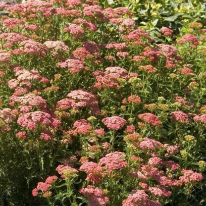 achillea-millefolium-tutti-frutti-apricot-delight-cickafark2