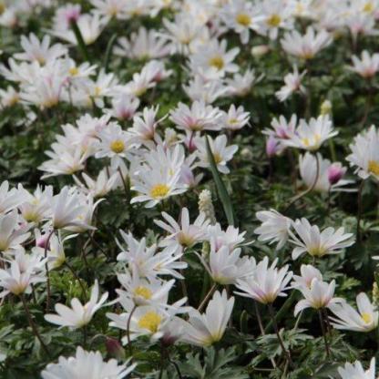 anemone-blanda-white-splendour-csinos-szellőrózsa2