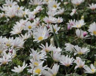 Szellőrózsa - tavaszi