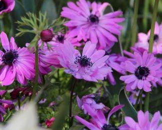 anemone-coronaria-admiral-koronás-szellőrózsa