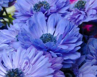 anemone-coronaria-lord-lieutenant-koronás-szellőrózsa