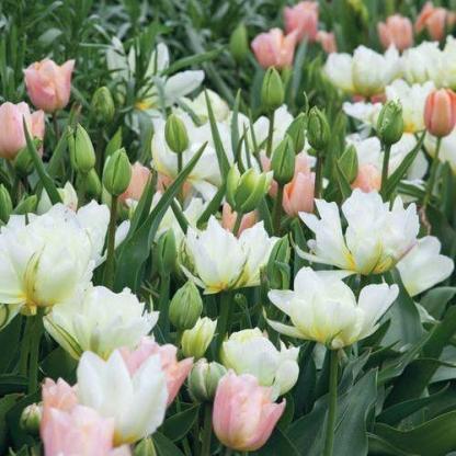Apricot Beauty, Exotic Emperor és Purissima tulipán válogatás