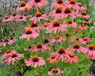 echinacea-mamma-mia-kasvirag