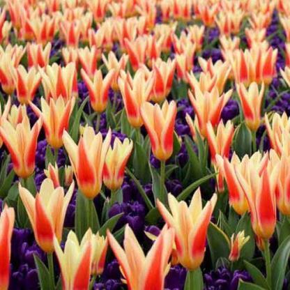 Heart's Delight és Remembrance - tulipán és nárcisz párosítása