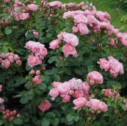 bailando rózsaszín ágyás rózsa