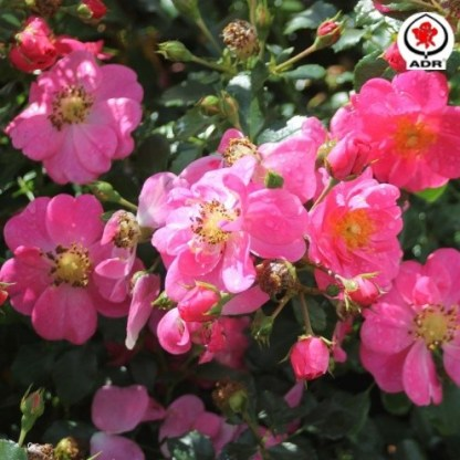Bienenweide-rosa - miniatűr rózsa