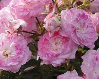 Pinocchio miniatűr rózsa