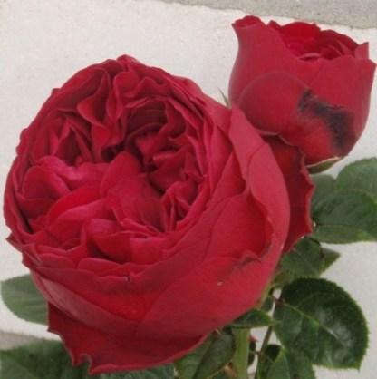 RoyalPiano teahibrid rózsa