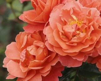 Theodor-Fontane ágyás rózsa