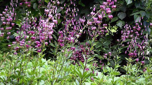 Martagon liliomok felhasználása kiskertekbe 1